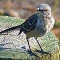 Mockingbird by Jean Wright