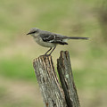 Perched On An Old Fence by Jan M Holden