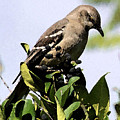 Mockingbird On Berries by Ellen Lerner ODonnell