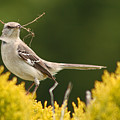 Mockingbird Perched With Nesting Material by Max Allen