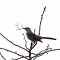 Mockingbird With Twig by Allen Nice-Webb