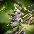 Mockingbird Youngster by Kerri Farley