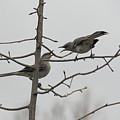 Mockingbirds Talk It Out by Allen Nice-Webb