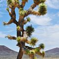 Mojave Joshua Tree by Kyle Hanson