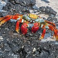 Sally Lightfoot Crab Or Zayapa by NaturesPix