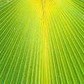 Molokai Palm Fan by Robert Meyers-Lussier