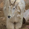 Molting Mountain Goat by Wendy Fox