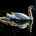 Mom And Baby Swan by Stan Hamilton