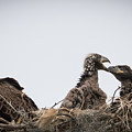 Mom And Little Eaglets by Tony Fruciano