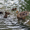 Mom Mallard And Ducklings by Cindy Murphy - NightVisions