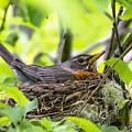 Moma Robin Incubating by Marty Saccone