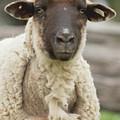Moma Sheep by Buddy Scott