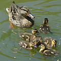 Momma Duck With Babies by Belinda Stucki