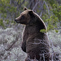 Momma Grizzly And Cubs by Rodney Cammauf