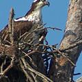 Momma Osprey by Terry Adamick