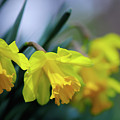 Mom's Daffs by Lois Bryan
