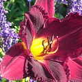 Mom's Lilly by Wendy Robertson