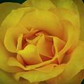 Moms Yellow Rose by Dan Kinghorn