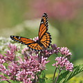 Monarch 1 by Gerald Hiam