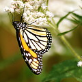 Monarch 2 by Michael Peychich