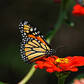 Monarch 6 by Edward Sobuta