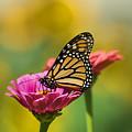 Monarch 9 by Edward Sobuta