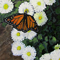 Monarch Amid The Mums by Linda Feinberg