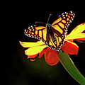 Monarch And Tithonia Light And Shadow by Debbie Oppermann