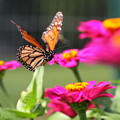 Monarch Approaching Zinnia 2 by Angela Rath