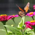 Monarch Approaching Zinnia by Angela Rath