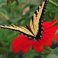 Tiger Beauty by Belinda Stucki