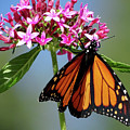 Monarch Beauty by Deborah England
