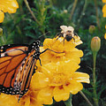 #002 Monarch Bumble Bee Sharing by Robin Lee Mccarthy Photography