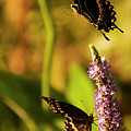 Monarch Butterflies In Spring At Wakulla Springs by Frank Feliciano