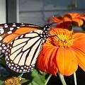 Monarch Butterfly 2 by June Goggins