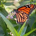 Monarch Butterfly 3 by Allen Beatty