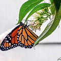 Monarch Butterfly In The Garden 3 by CAC Graphics