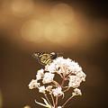 Monarch Butterfly 4 by David Stasiak