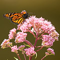 Monarch Butterfly 5 by David Stasiak