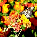 Monarch Butterfly by Adrienne Wilson