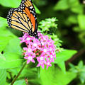 Monarch Butterfly And Honey Bee by Edward Peterson