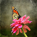 Monarch Butterfly And Pink Zinnia by Judy Palkimas
