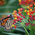 Monarch Butterfly by Ann Jacobson