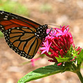 Monarch Butterfly by Barry Craft