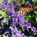Monarch Butterfly Beauty by Jason Nicholas