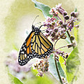 Monarch Butterfly Blank Note Card by Christina Rollo