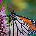 Monarch Butterfly by Brad Boland
