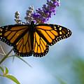 Monarch Butterfly by Carl Jackson