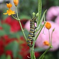 Monarch Butterfly Caterpillar by Devon Kotke
