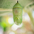 Monarch Butterfly Chrysalis by Priya Ghose